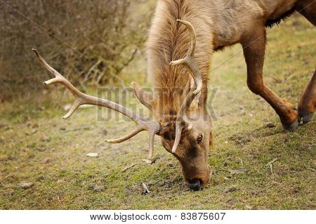Elk Bull With Bending Down Head