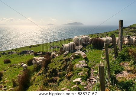 Sheep On Grassy Fields
