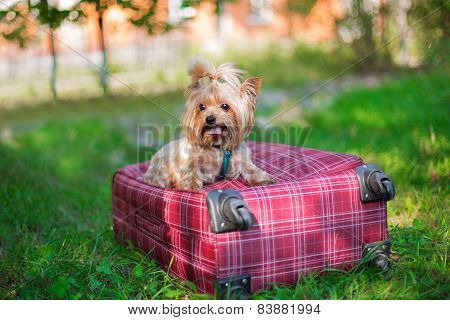 Yorkshire Terrier Sitting On Suitcase And Looking Away