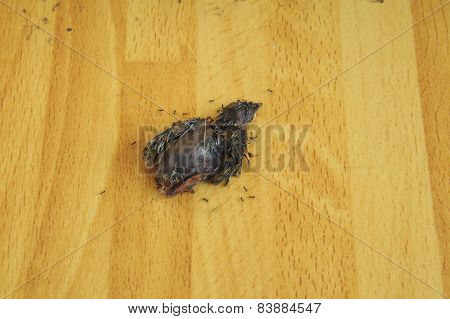 Death Body Little Bird Eaten By Black Small Ant