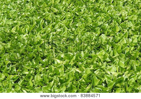 Water Hyacinth Float On The Water