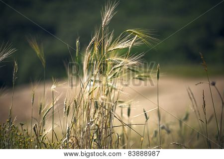 Ear Of Wheat Over Wheat Filed Background. Desaturated Image