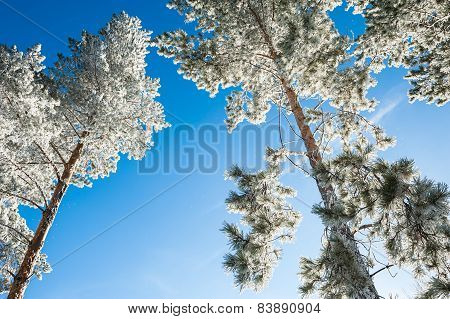 Hoarfrost On The Pines In Winter Forest