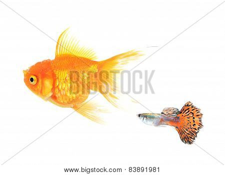 Golden Fish And Guppy Fish Isolate On White Background