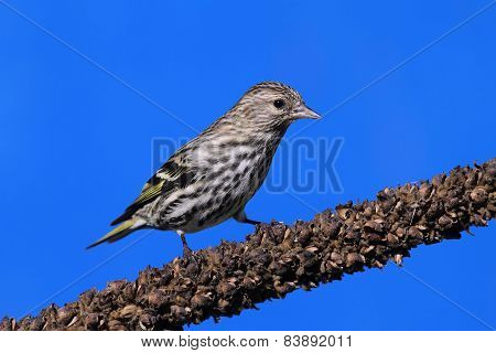 Pine Siskin (carduelis Pinus) On A Perch