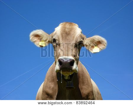 Close-up of a dairy cow runs down the snot