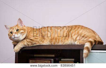 Lazy Orange Cat