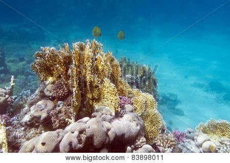 Coral Reef With Exotic Fishes Butterflyfishes - Underwater
