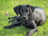 stock photo of bohemia  - labrador retriever puppy - JPG