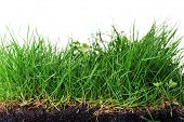 foto of humus  - young grass turf close up on white - JPG