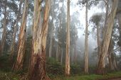 pic of mountain-ash  - Mountain ash and eucalyptus trees at Mount Dandenong - JPG