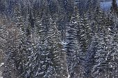 stock photo of conifers  - A winter landscape with conifers taken at the Swiss canton Ticino  - JPG