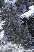 picture of conifers  - A winter landscape with conifers taken at the Swiss canton Ticino  - JPG
