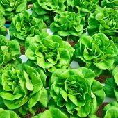 picture of hydroponics  - green lettuce cultivation hydroponics green vegetable in farm - JPG