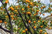 stock photo of kumquat  - fruit - JPG