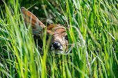 stock photo of peek  - A young fawn peeking out of the green grass - JPG