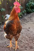 foto of black-cock  - Colorful Rooster - JPG
