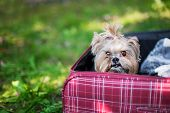 foto of yorkshire terrier  - Yorkshire Terrier sitting into red suitcase. Selective focus