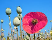 picture of opiate  - Poppy heads in field on sunny day - JPG