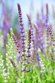 stock photo of salvia  - Violet flower from salvia nemorosa close up - JPG