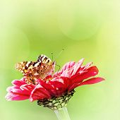 stock photo of monarch  - Monarch butterfly sitting on the red flower - JPG