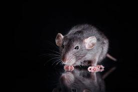 picture of rats  - studio portrait of a brown domestic rat - JPG
