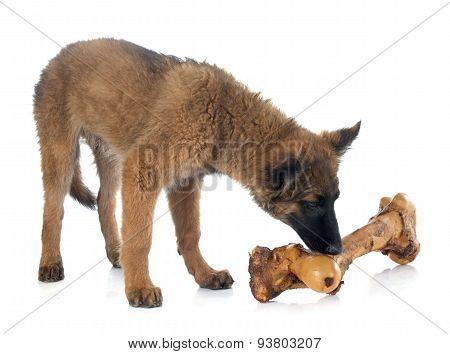 Belgian Shepherd Tervuren And Bone