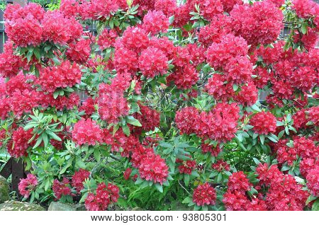 Red rhododendron bush in the garden