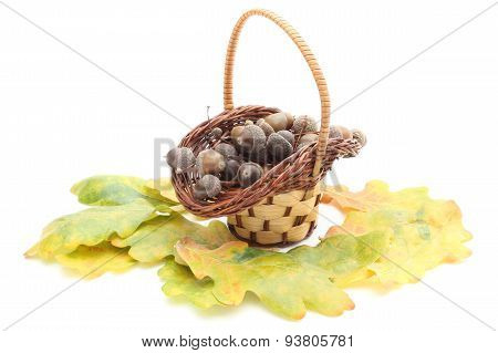 Acorns In Wicker Basket And Oak Leaves On White Background