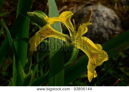 Fly on a flower iris marsh drink the morning dew on a summer morning
