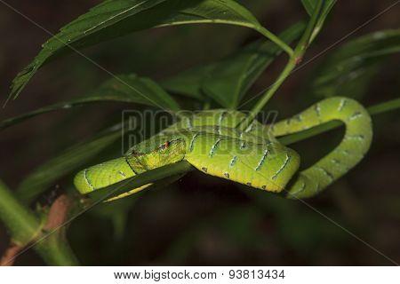 Borneo Pit Viper snake