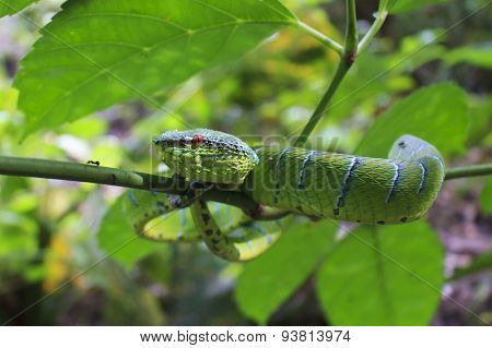 Green snake in tree (Borneo Pit Viper)