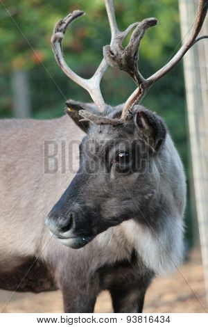 Reindeer male with antler