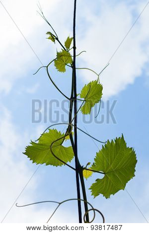 Grapevines Hanging On A Wire