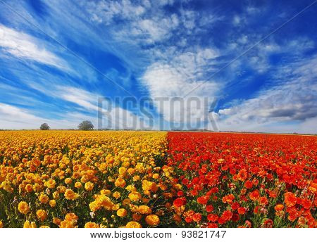 Blooming red and yellow buttercups in spring in Israel. Kibbutz huge flower fields
