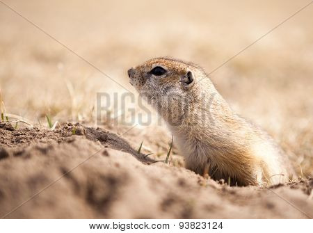 Close Up Of A Ground Squirrel