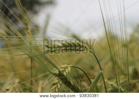 Ears of wheat in field green and ready to ripen