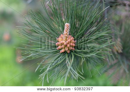 Pine Tree Branch With Tiny Cone