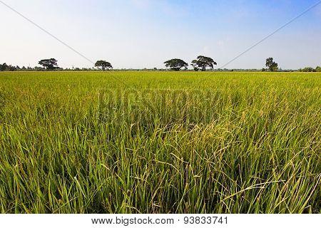 Field Rice And Big Tree