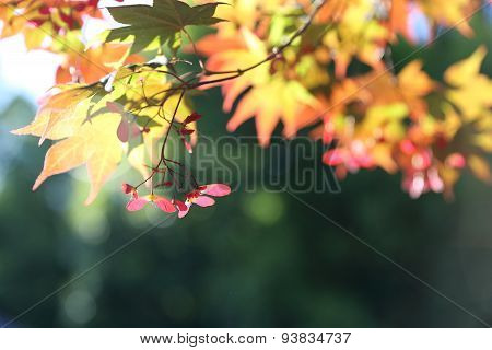 Red maple branches - background.