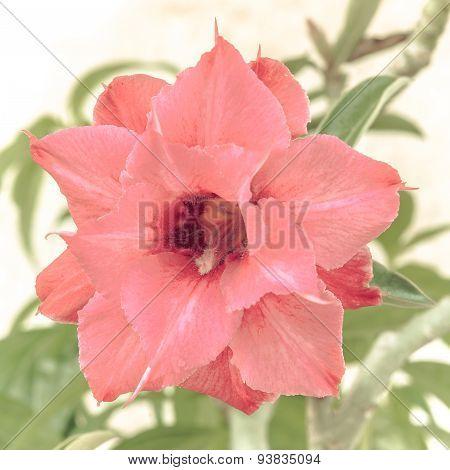 Pink Desert Rose, Impala Lily, Adenium, Azalea
