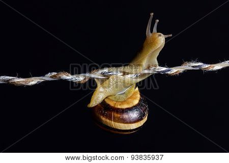 Curious Snail Walking On The String In Front Of Black Background