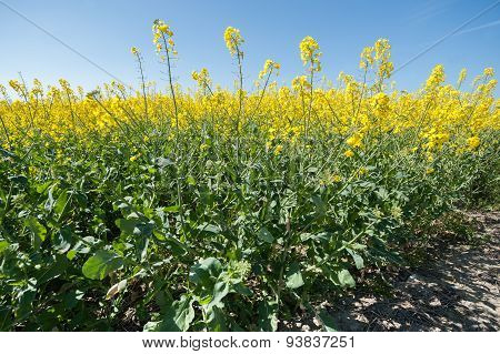 Rapeseed Crop Closeup