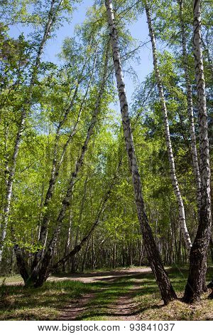 Road In The Birch Forest In The Early Spring