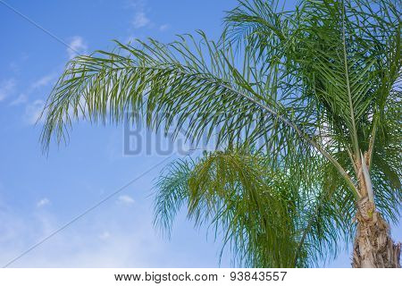 Cluster Of Green Palm Fronds