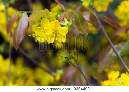 Hoa Mai tree (Ochna Integerrima) flower, traditional lunar new year in Vietnam