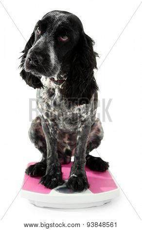 Dog on scale, isolated on white