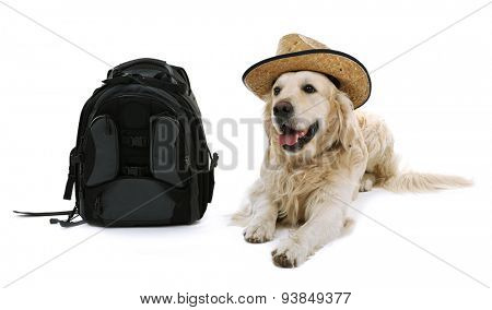 Cute Labrador in hat with backpack isolated on white