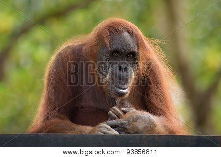 Orangutan Postrait