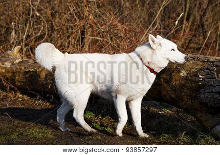Purebred White Siberian Husky Into The Forest